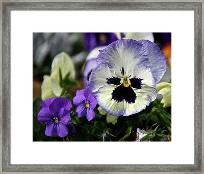 Spring Pansy Flower Framed Print by Ed  Riche