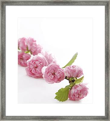 Spring Pink Flowers Framed Print by Boon Mee