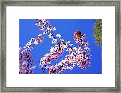 Spring Pink Glowing Blossoms Sunlit Blue Sky Framed Print by Baslee Troutman