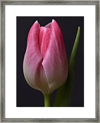Orange Pink Red White Black Tulip Flower Art Work Photograph Framed Print by Artecco Fine Art Photography