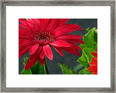 Spring Red Framed Print by Pete Trenholm