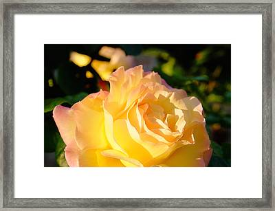 Spring Rose Framed Print