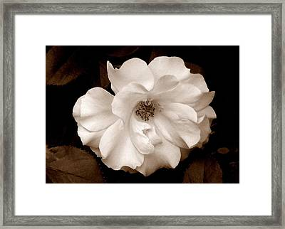 'spring Rose' Framed Print