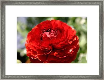 Spring Scarlet Double Begonia Framed Print