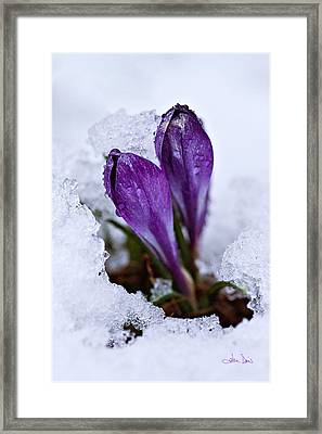 Spring Snow Framed Print by Joan Davis