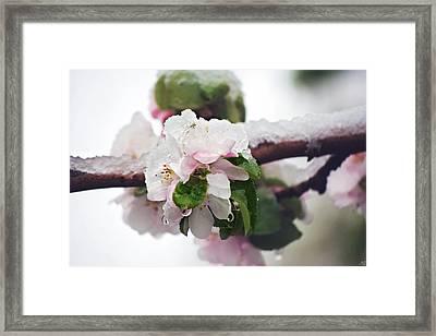 Spring Snow On Apple Blossoms Framed Print by Lisa Knechtel