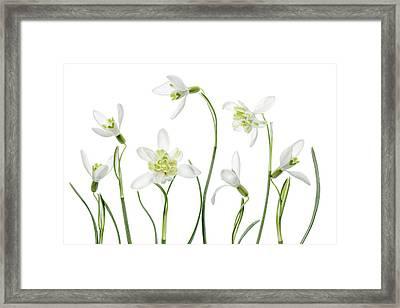 Spring Snowdrops Framed Print