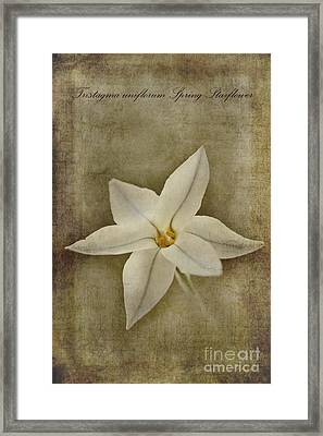 Spring Starflower Framed Print by John Edwards