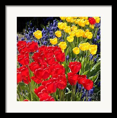 Backlit Tulip Framed Prints