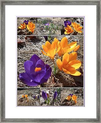 Spring Time Crocuses Framed Print by Patricia Keller