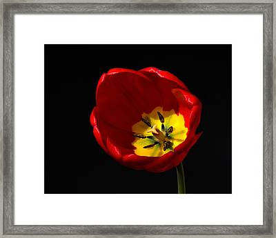 Spring Tulip 1 Framed Print