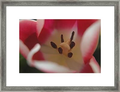 Spring Tulip Framed Print by Sharin Gabl