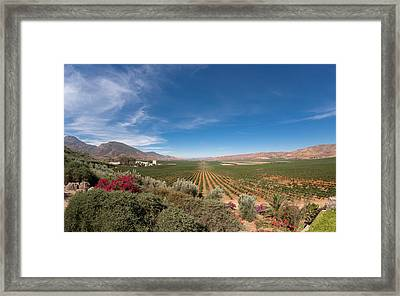 Spring Vinyard In Ensenada Mexico Framed Print by Scott Campbell