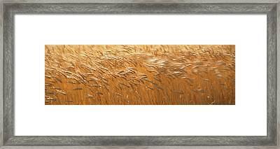 Spring Wheat Framed Print by Panoramic Images
