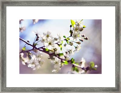 Spring White Cherry Tree  Framed Print by Jenny Rainbow