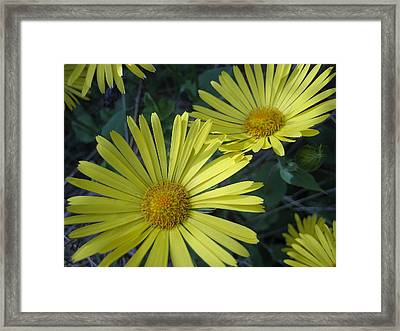 Spring Yellow  Framed Print by Cheryl Hoyle