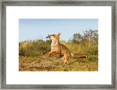 Spring -young Fox Kit Playing With Moss Framed Print by Roeselien Raimond