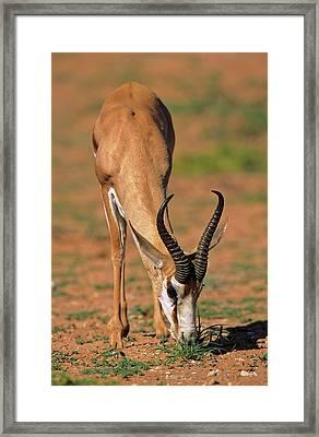 Springbok (antidorcas Marsupialis Framed Print