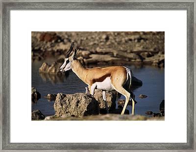 Springbok Drinking Framed Print