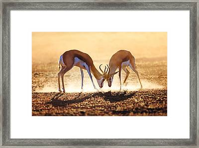 Springbok Dual In Dust Framed Print