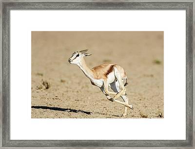 Springbok Lamb Running Framed Print