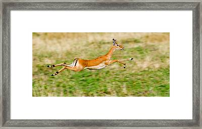 Springbok Leaping In A Field Framed Print by Panoramic Images