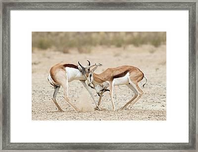 Springbok Males In Territorial Combat Framed Print