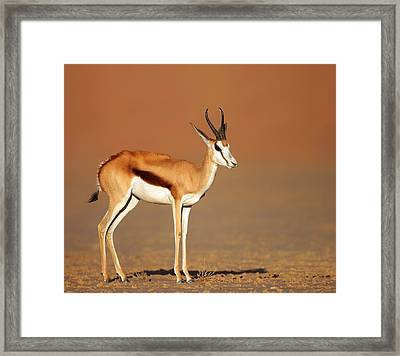 Springbok On Sandy Desert Plains Framed Print by Johan Swanepoel