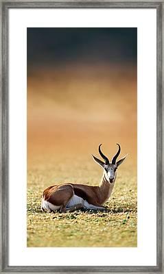 Springbok Resting On Green Desert Grass Framed Print by Johan Swanepoel