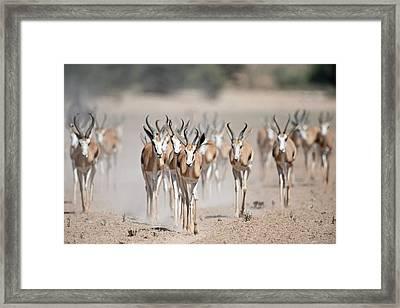 Springbuck Herd Moving To A Waterhole Framed Print