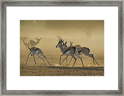 Springbuck Playing At Dawn Framed Print