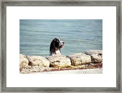 Framed Print featuring the photograph Springer About To by R B Harper