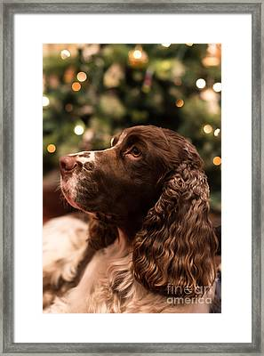 Springer Spaniel Framed Print by Matt Malloy