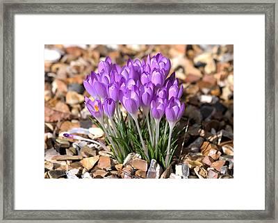Springflowers Framed Print by Gordon Auld