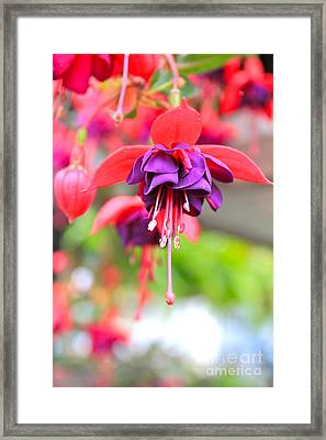 Springle Bells Framed Print
