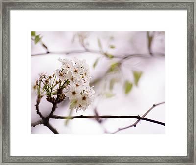 Springs Blossom  Framed Print by Mike Lee