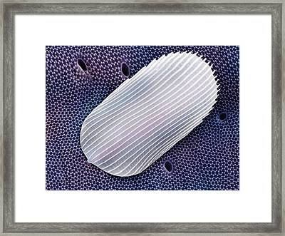 Springtail Scale (order Collembola) Framed Print