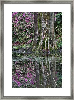 Springtime Azalea Blooming Magnolia Framed Print