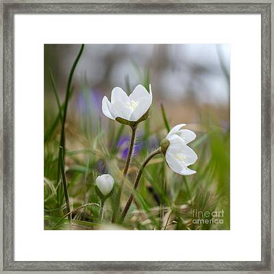 Springtime Blossom Framed Print