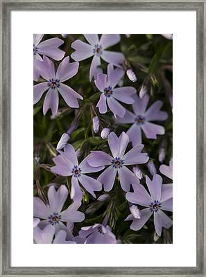 Springtime Phlox Framed Print by Andrew Pacheco