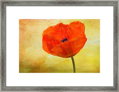 Springtime Poppy Beauty Framed Print