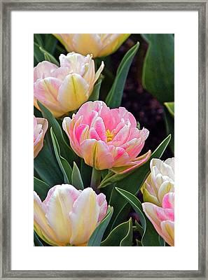 Springtime Sprites -- Parrot Tulips Framed Print