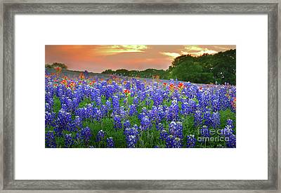Springtime Sunset In Texas - Texas Bluebonnet Wildflowers Landscape Flowers Paintbrush Framed Print