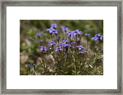 Springtime Tiny Bluet Wildflowers - Houstonia Pusilla Framed Print