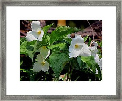Springtime Trillium Framed Print