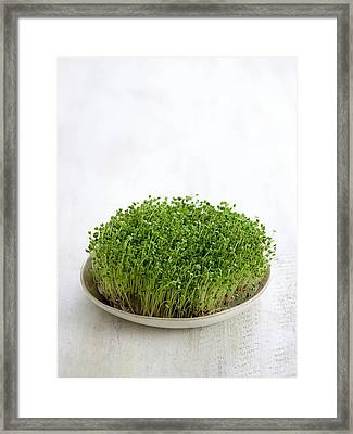 Sprouting Broccoli In A Dish Framed Print by Science Photo Library