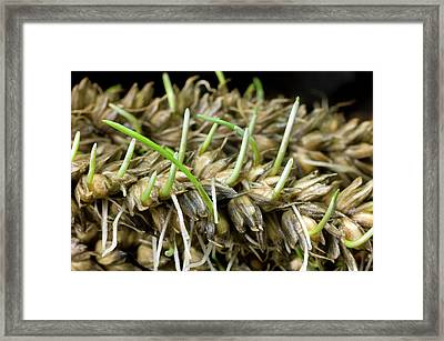 Sprouting Of Lodged Wheat Framed Print