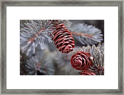 Spruce Cone Closeup II Framed Print