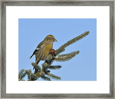 Spruce Cone Feeder Framed Print by Tony Beck