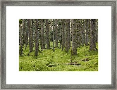Spruce Forest & Moss Near Coast Kodiak Framed Print by Kevin Smith